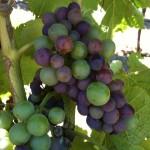 Pinot Noir Clone 777 Veraison 1