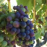 Pinot Noir Clone 777 Veraison 2