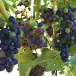 Pinot Noir Clone 777 Veraison 3