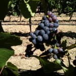 Pinot Noir Clone 777 Veraison 4