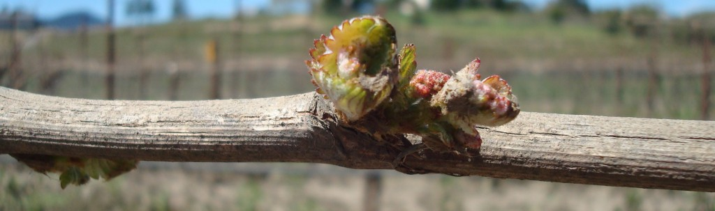 Budbreak comes to the Floodgate Vineyard