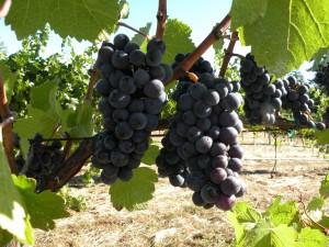 Roma's Vineyard