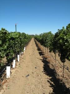 new RRV vineyard